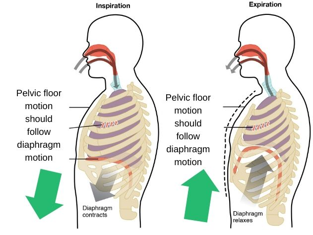 pelvic-floor-motion-during-respiration
